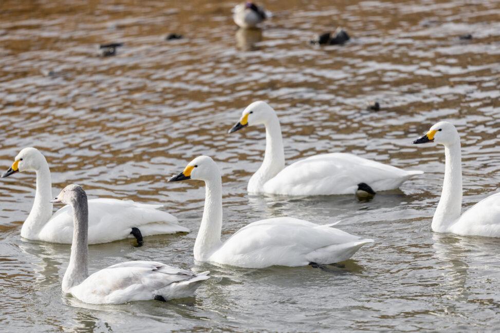 コハクチョウ/白鳥の群れと幼鳥_2の写真