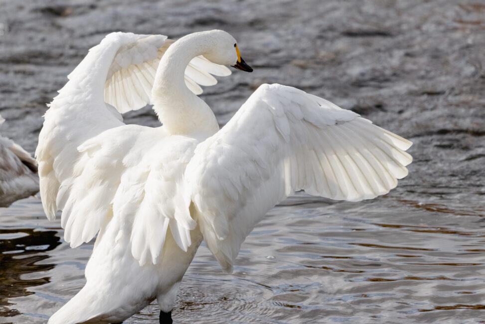 羽を広げるコハクチョウ/白鳥の後ろ姿の写真