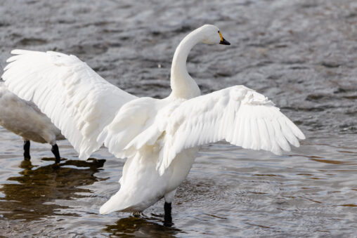 羽を広げるコハクチョウ/白鳥の後ろ姿_2の写真