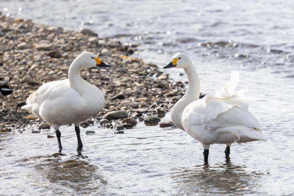 二羽のコハクチョウ/白鳥_2の写真
