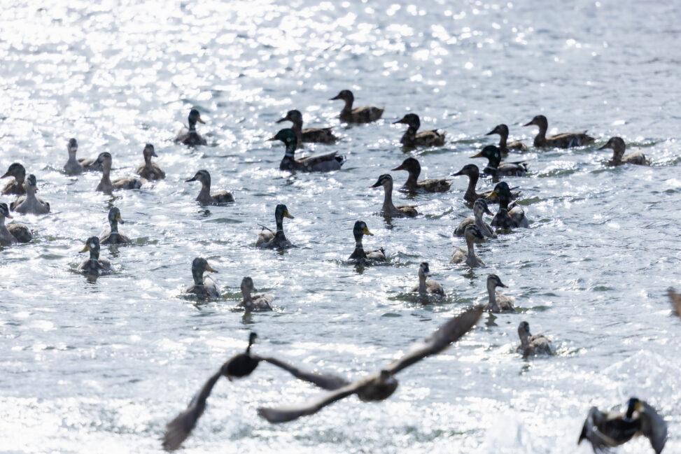 キラキラした水面とカモ(鴨)の群れの写真
