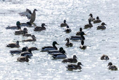 キラキラした水面とカモ(鴨)の群れ_2の写真
