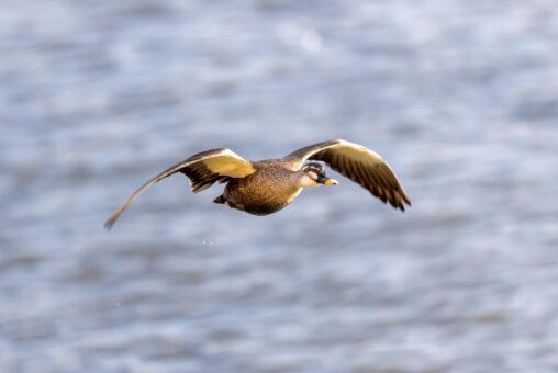 飛翔するカルガモ_2の写真