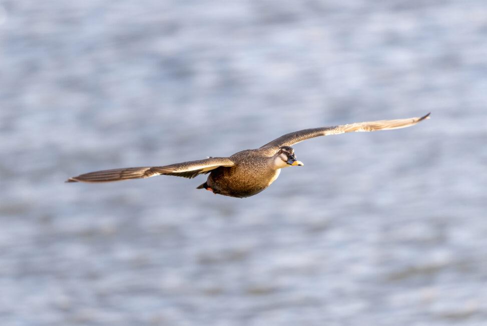 飛翔するカルガモ_3の写真