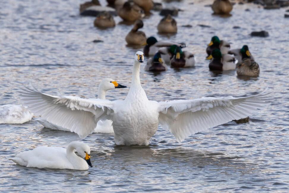羽を広げるコハクチョウ/白鳥(正面)の写真