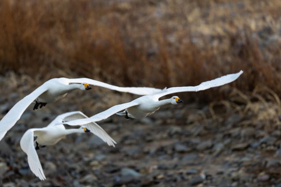 飛翔するコハクチョウ/白鳥たちの写真