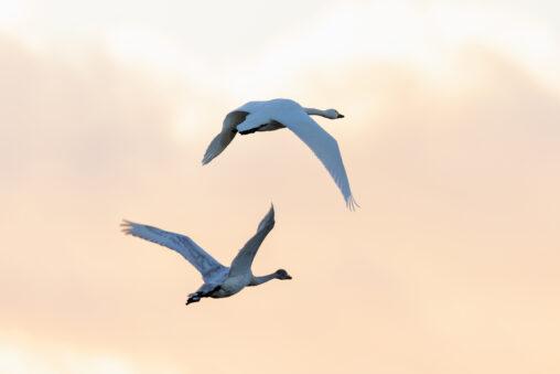 夕方の空を飛翔するコハクチョウ/白鳥たちの後ろ姿の写真