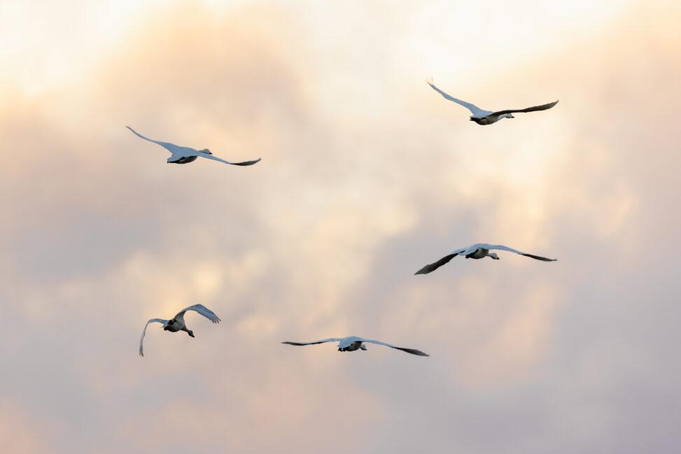 夕方の空を飛翔するコハクチョウ/白鳥たちの後ろ姿_2の写真