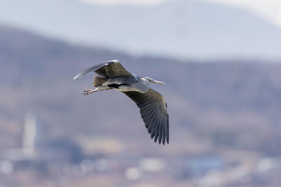 アオサギ/飛翔_2の写真