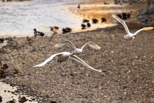 飛翔するコハクチョウ/白鳥たち_2の写真