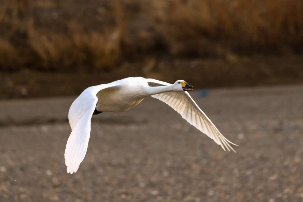 飛翔するコハクチョウ/白鳥の写真