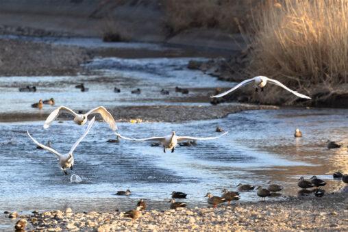 夕日に照らされながら飛翔するコハクチョウ/白鳥たちの写真