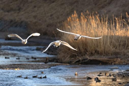 夕日に照らされながら飛翔するコハクチョウ/白鳥たち_2の写真