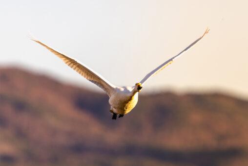 夕日に照らされながら飛翔するコハクチョウ/白鳥の写真