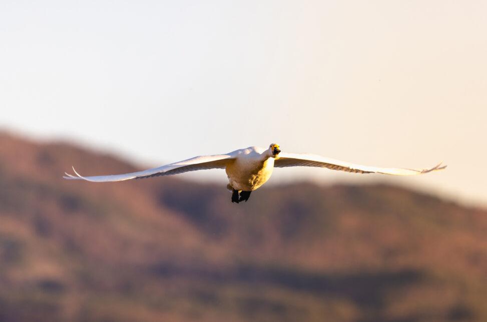 夕日に照らされながら飛翔するコハクチョウ/白鳥_2の写真