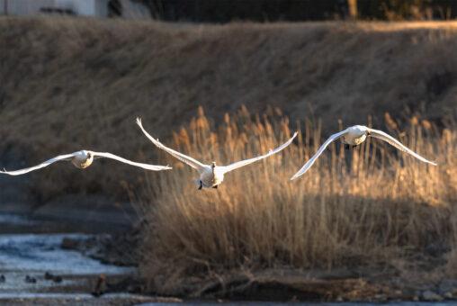 夕日に照らされながら飛翔するコハクチョウ/白鳥たち_3の写真