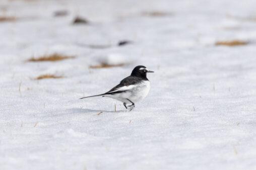 雪の上を歩くセグロセキレイの写真