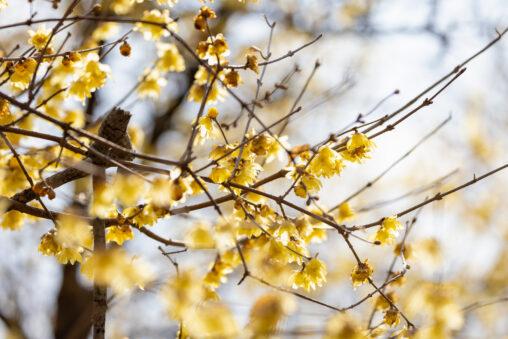ロウバイ/蝋梅の写真