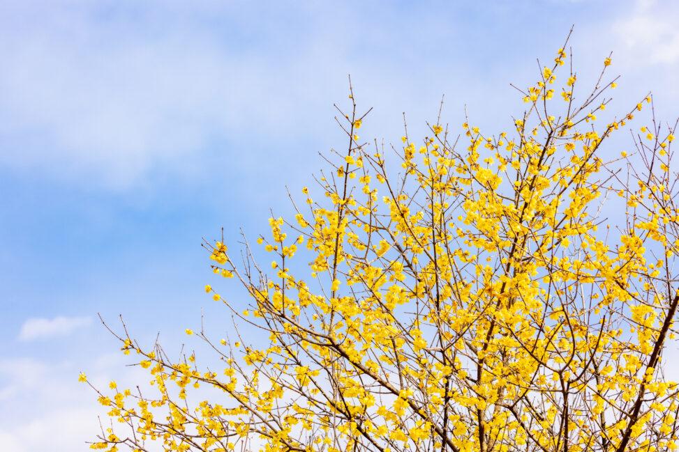 青空とロウバイ/蝋梅の写真