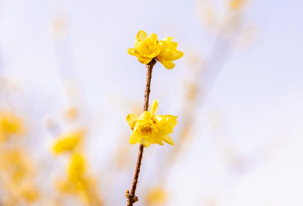 ロウバイ/蝋梅の花の写真