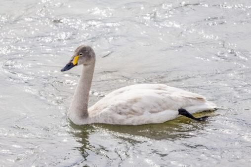 コハクチョウ/白鳥の幼鳥_2の写真
