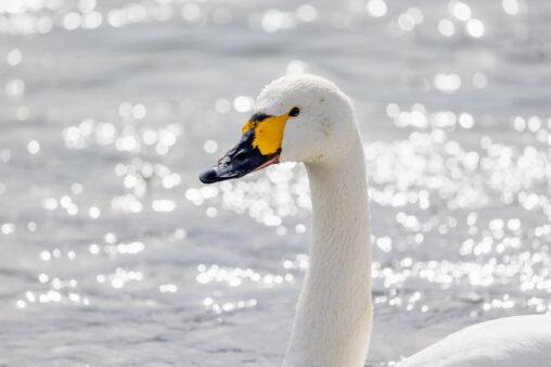コハクチョウ/白鳥のアップ_2の写真