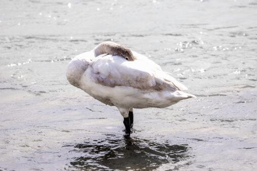 コハクチョウ/白鳥の幼鳥_3の写真