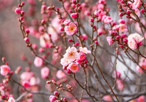 咲き始めの紅梅の写真