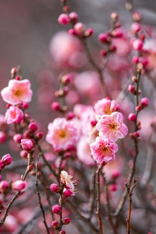 咲き始めの紅梅_2の写真
