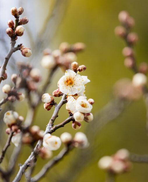 咲き始めの白梅の写真