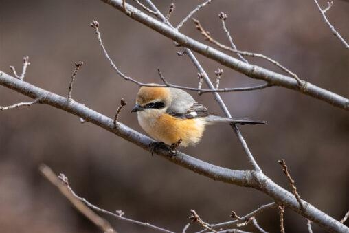 枝にとまるモズ_2の写真