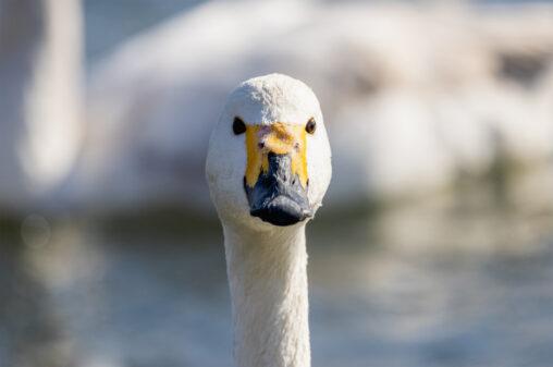 コハクチョウ/白鳥の顔のアップ(正面)の写真