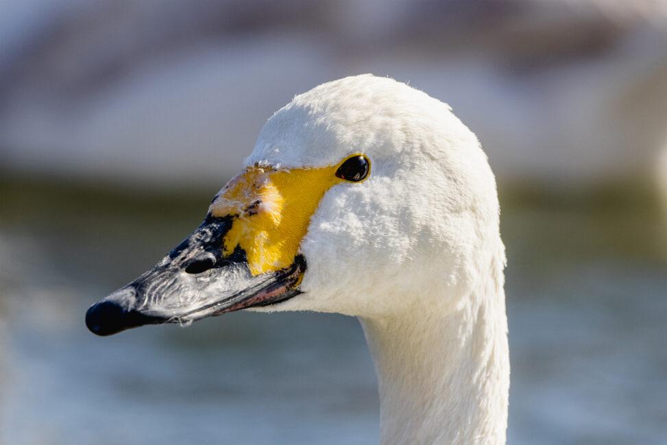 コハクチョウ/白鳥の顔のアップ(横顔)の写真
