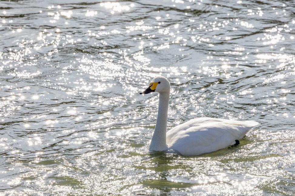 キラキラした水面とコハクチョウ/白鳥の写真
