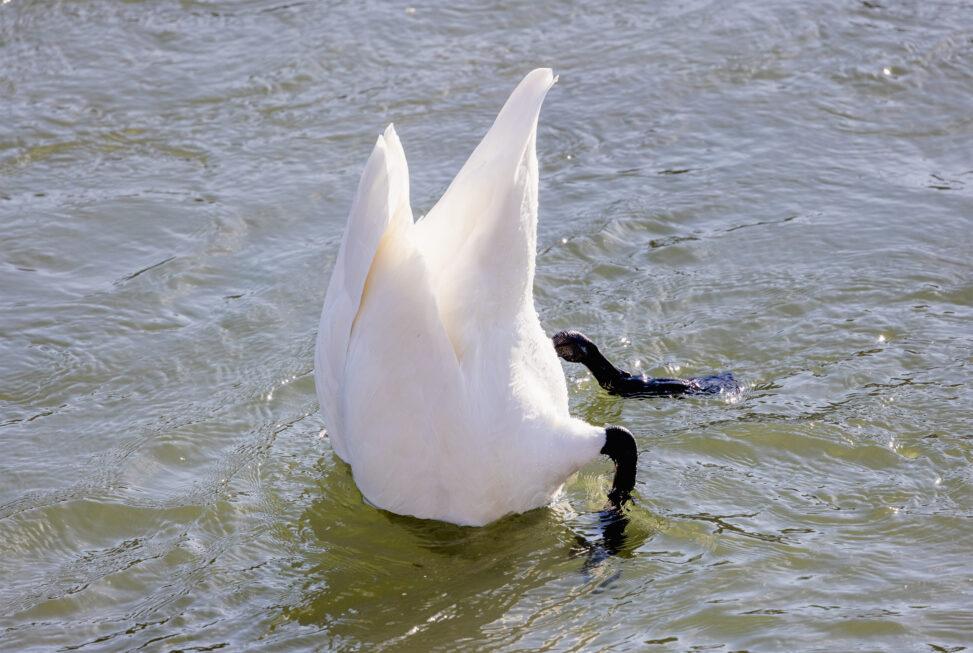 潜っているコハクチョウ/白鳥の写真