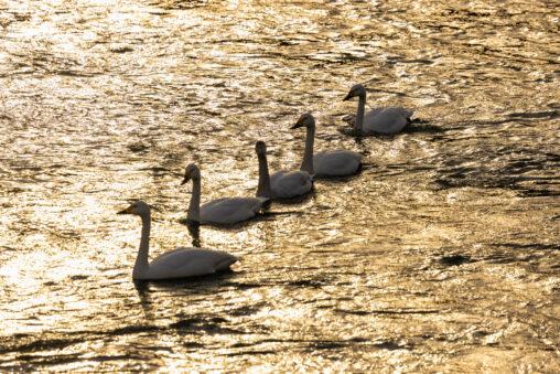 夕方の川を泳ぐコハクチョウ/白鳥 の群れの写真