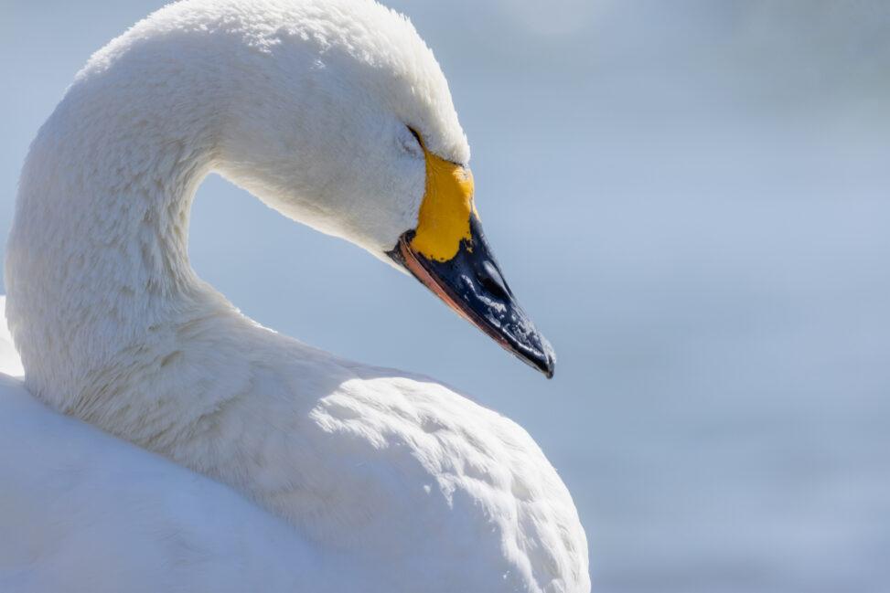 目を瞑っているコハクチョウ/白鳥のアップの写真
