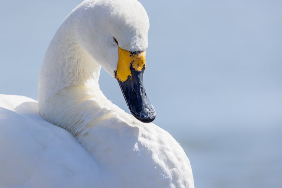 目を瞑っているコハクチョウ/白鳥のアップ_2の写真
