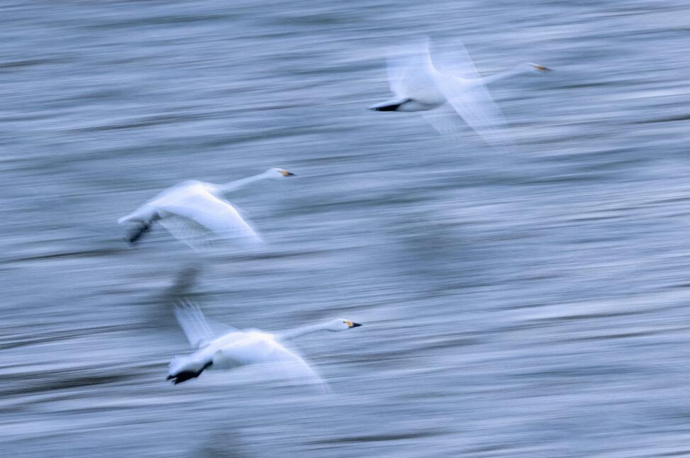 【流し撮り】飛び立つコハクチョウ/白鳥たちの写真