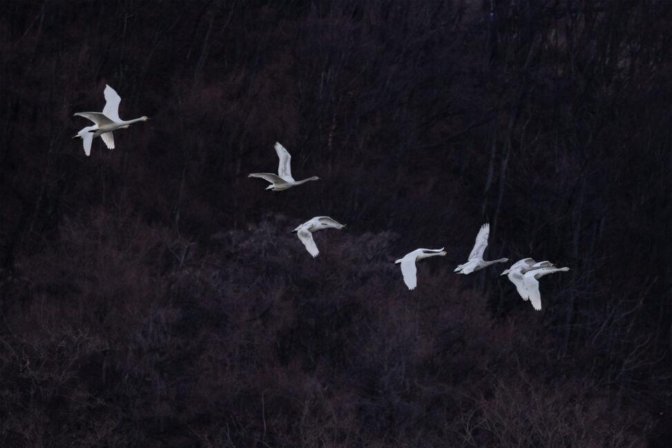 飛び立ったコハクチョウ/白鳥たちの写真
