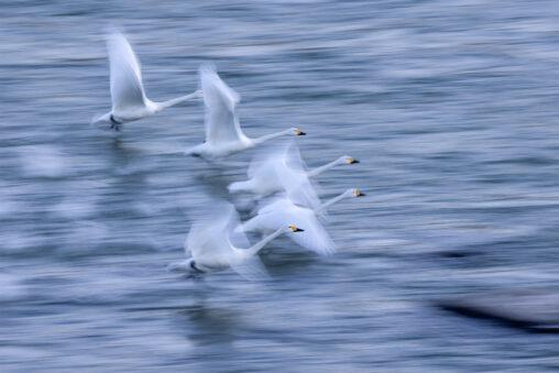【流し撮り】飛び立つコハクチョウ/白鳥たち_2の写真