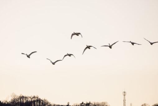 夕方と空と飛び立ったコハクチョウ/白鳥たちの写真