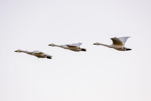 夕方と空と飛び立ったコハクチョウ/白鳥たち_2の写真