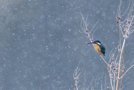 雪とカワセミの写真