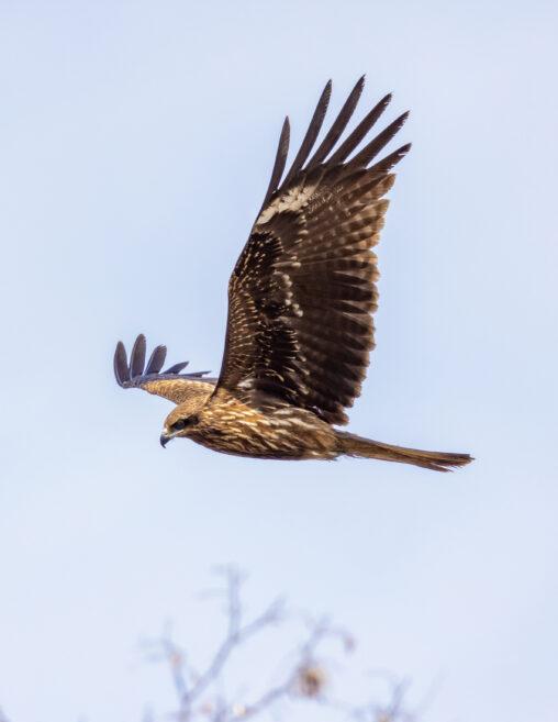 翼を広げて飛ぶトビ/トンビ/鳶_3の写真