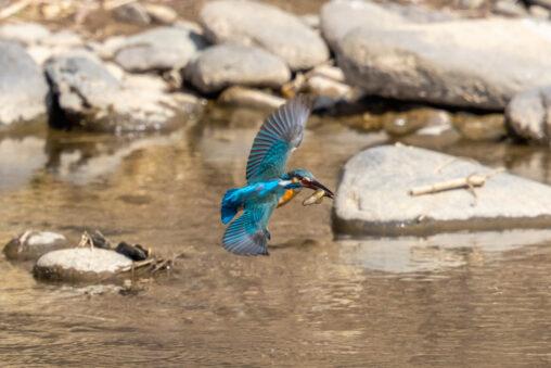 魚をくわえて飛んでいるカワセミ