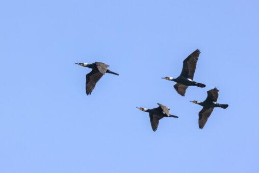 飛んでいるカワウの群れの写真