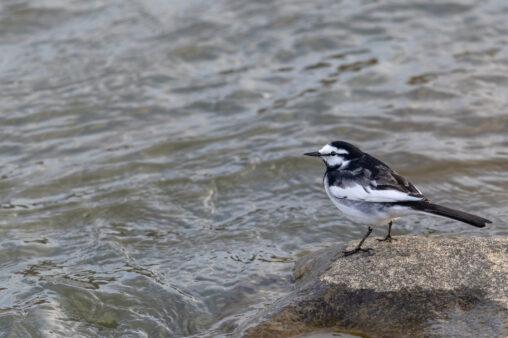 水辺にいるハクセキレイ_3の写真