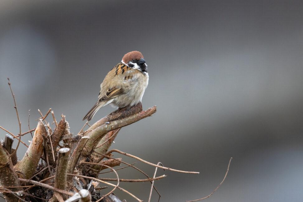 木にとまっているスズメ(雀)の写真