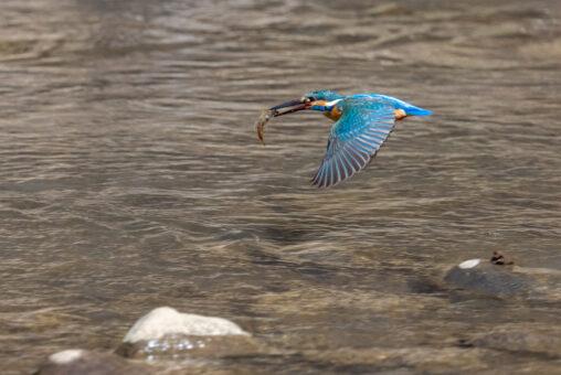 魚をくわえて飛んでいるカワセミ_2の写真